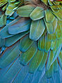 Turquoise feathers1 (8306373090).jpg