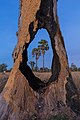 Two Arecaceae in the fields viewed through a hole in a tree trunk in Laos at blue hour.jpg