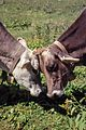 Two Cows - Alps, Italy - About 1994 03.jpg