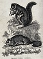 Two Virginian flying squirrels sitting on a rock. Etching by Wellcome V0021223.jpg