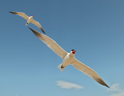 Two caspian terns.png