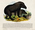 Two tapirs roaming the woods. Coloured wood engraving by J. Wellcome V0020538.jpg
