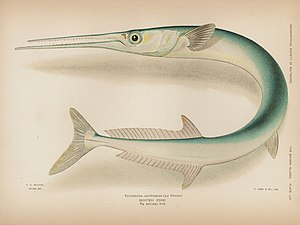 Houndfish - Illustration from The Bahama Islands by The Geographical Society of Baltimore 1905.