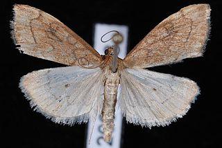 <i>Udea profundalis</i> Species of moth