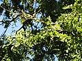 Ulmus parvifolia 'Frosty' - J. C. Raulston Arboretum - DSC06176.JPG
