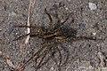 Ulveedderkopper (Lycosidae) (5699138461).jpg