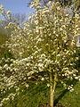 Un poirier basse-tige en fleurs à Grez-Doiceau 001.jpg