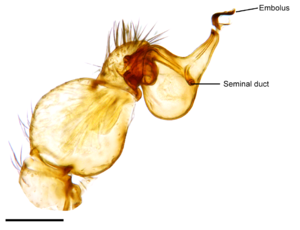 Pedipalp - Palpal or copulatory bulb of ''Unicorn catleyi''
