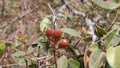 Unripe Carissa spinarum - କଞ୍ଚା କ୍ଷୀର କୋଳି.png