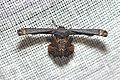 Uraniidae, Epipleminae (15259016890).jpg