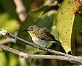 Van Hasselt's Sunbird (Leptocoma sperata brasiliana) female - Flickr - Lip Kee.jpg