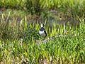 Vanellus vanellus EM1B9668 (33952159243).jpg