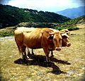Vaques pasturant sota el Matagalls.jpg