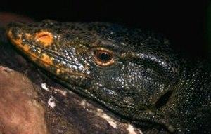 Gray's monitor - Varanus olivaceus