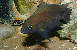 Variabilichromis moorii.jpg
