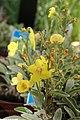 Verbascum Letitia 2zz.jpg