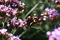 Verbena bonariensis 19zz.jpg