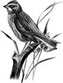 Vesper Sparrow-Birdcraft-0225-29.png
