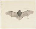 Vespertilio mystacinus - 1700-1880 - Print - Iconographia Zoologica - Special Collections University of Amsterdam - UBA01 IZ20800131.tif