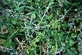 ...входят: пастушья сумка (Capsella bursa-pastoris, из семейства...