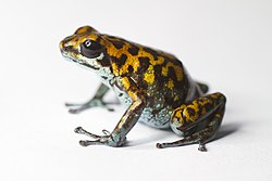 Vicente's poison frog -Oophaga vicentei (16435893304).jpg