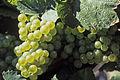 Vigne Grappe Chardonnay (Festigny ) hzt Cl.J.Weber (23049590684).jpg