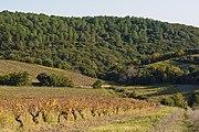Vineyards in Cabrerolles 01.jpg