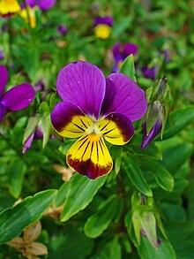 List of Viola species ...