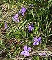 Violets - geograph.org.uk - 422263.jpg