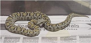 <i>Montivipera albizona</i> species of reptile