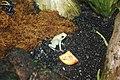 WLA hmns Golden Poison Dart Frog.jpg