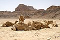 Wadi Rum Desert, Jordan, Camels in the desert.jpg