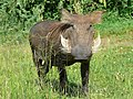 Warthog (Phacochoerus africanus) (17613580383).jpg