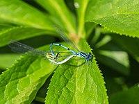Watersnuffel (Enallagma cyathigerum) d.j.b.jpg