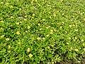Wedelia trilobata-2-tirunelveli-India.jpg