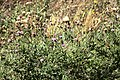 Weeds32 (38194936995).jpg