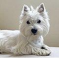 West Highland White Terrier Pippa.jpg