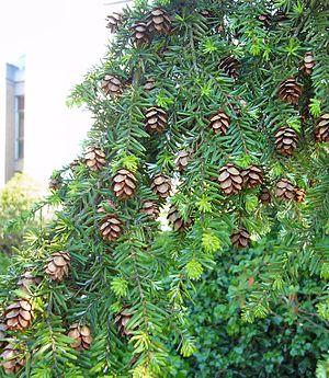 Tsuga heterophylla - Western hemlock foliage and cones