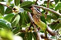 White-Cheeked Barbet or Small Green Barbet (Megalaima viridis) Bird.JPG