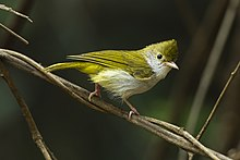 White-bellied Yuhina - Central Thailand S4E7097 (18924790614).jpg