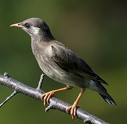 White-cheeked Starling at Tennōji Park in Osaka, June 2016 (cropped).jpg