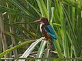 White-throated Kingfisher (Halcyon smyrnensis) (32206612433).jpg