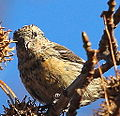 White-winged Crossbill (juvenile) (8225343689).jpg