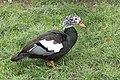 White-winged wood duck (Asarcornis scutulata).jpg