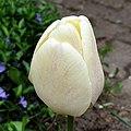 White Tulip in Ustroń, Poland, April 2019.jpg
