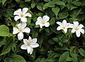 White flowers at Clavering Essex England.jpg