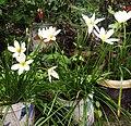 White lily flower, Assam.jpg