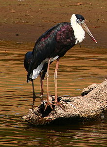 White necked stork (Ciconia episcopus) 21-Mar-2007 7-37-51 AM 21-Mar-2007 7-37-52.JPG