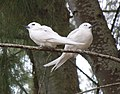 White tern pair in ironwood (7123154601).jpg