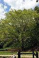 Wien-Penzing - Naturdenkmal 27 - Dehnepark - Ahornblättrige Platane (Platanus × hybrida) VI.jpg